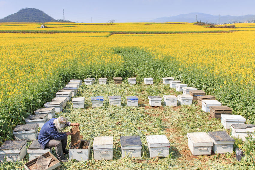 Luoping, China - February 28, 2016: Beekeeper working among the rapeseed flowers fields of Luoping in Yunnan China. Luoping is famous for the Rapeseed flowers that bloom on early spring Agriculture ASIA Beauty In Nature Bees China Crop  Field Grass Growth Honey HoneyBee Landscape Luoping Minority Nature Rapeseed Rapeseed Blossom Rapeseed Field Rural Scene Tradition Tranquil Scene Tranquility Yellow Yunnan Yunnan ,China