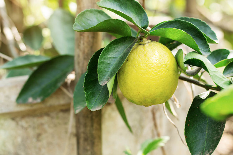 Branch Citrus Fruit Close-up Day Focus On Foreground Food Food And Drink Freshness Fruit Green Color Growth Hanging Healthy Eating Leaf Lemon Lime Nature No People Outdoors Tree