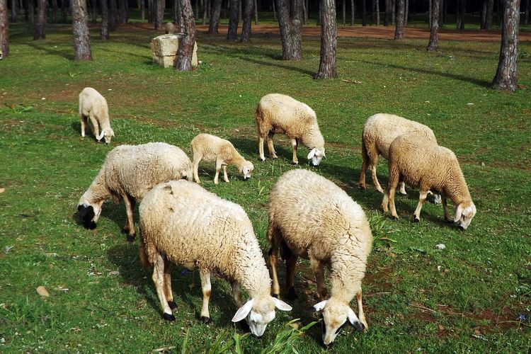 Animal Themes Beauty In Nature Day Domestic Animals Field Flock Of Sheep Grass Grazing Lamb Large Group Of Animals Livestock Mammal Moutons Nature No People Outdoors Pasture Sheep Togetherness Young Animal