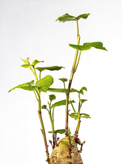 Potato Freshness Growth Leaf Nature Plant Stem White Background