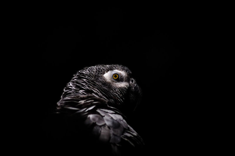 Close-up of grey parrot against black background