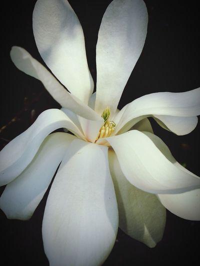 magnolia blossom Magnolia_Blossom Magnolia Tree Magnolia Magnolie Tulpenbaum