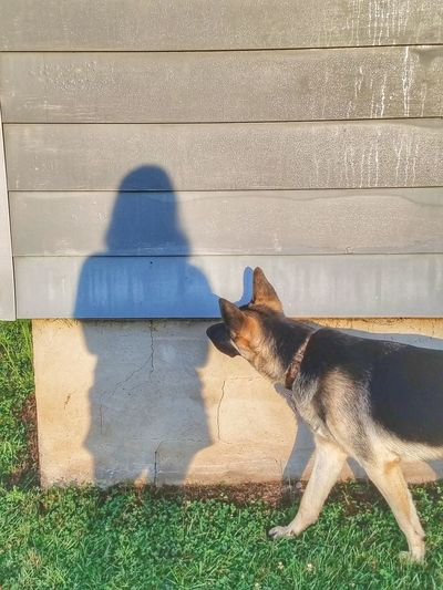 Pets Dog Shadow Sunlight Focus On Shadow German Shepherd