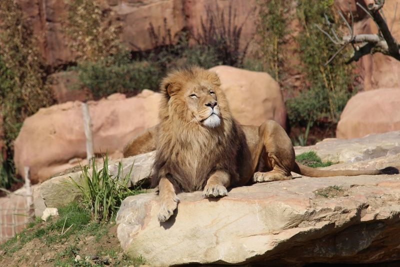 Lion looking away while sitting on rock