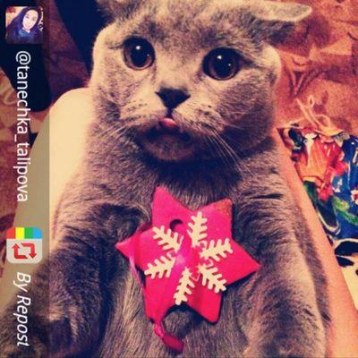 Его глаза так и говорят - это мой пряник!) самый няшный кот Честер британец Томск Tsk Repost