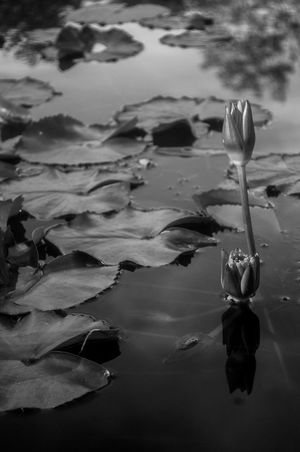 Bangkok Thailand. Black And Whte Calmness Classic Flwoers Lotus Minimalism Nikon D 5000