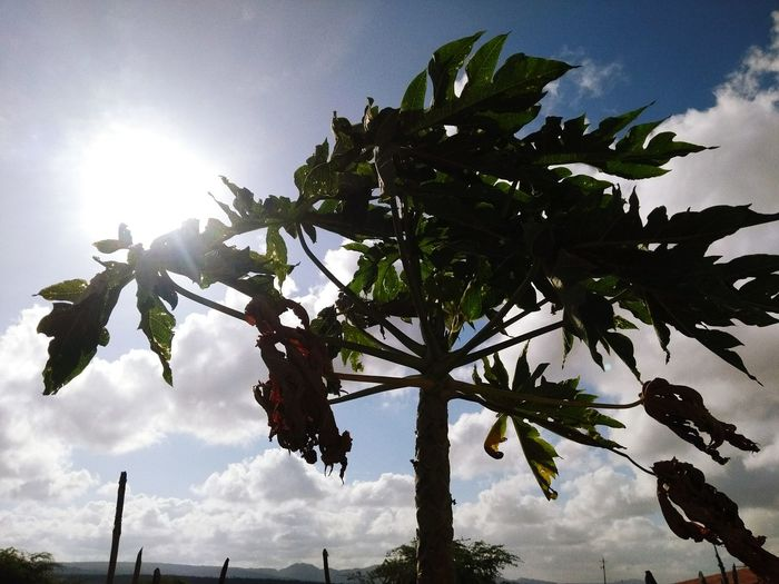 Planta Fruta Mamão Tree Sky No People Outdoors Cloud - Sky Day Silhouette