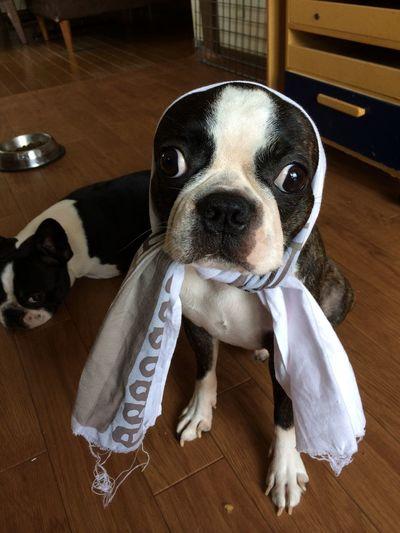 京都南禅寺手拭いとナナホシ Bostonterrier Dog ボストンテリア 手ぬぐい Boston Terrier