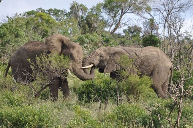 African Elephant Animal Animal Fight Animal Wildlife Animals In The Wild Day Elephant Grass KwaZulu-Natal Mammal Nature No People Outdoors South Africa