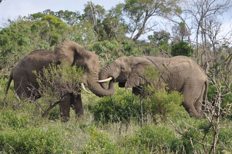 Two elephants in the wild