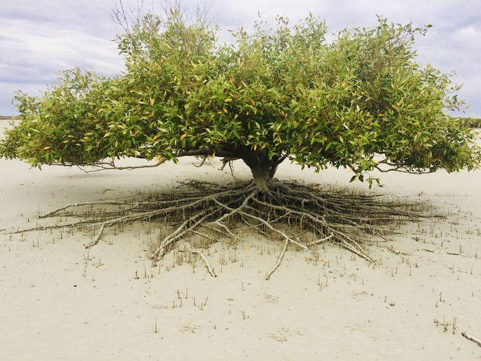 EyeEmNewHere Beach Coastal Vegetation Growth Mangrove Tree No People Root System Roots Of Tree