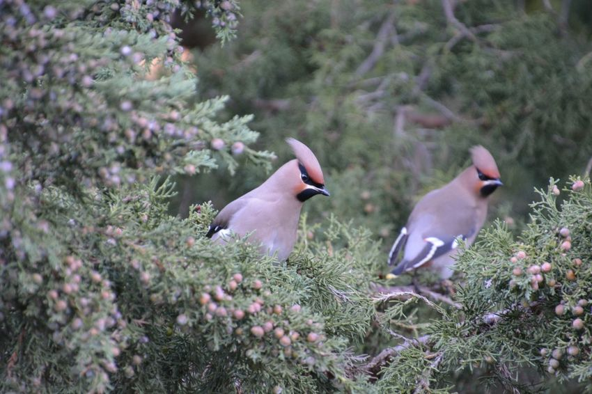 Animal Themes Animal Wildlife Animals In The Wild Beauty In Nature Bird Day Green Color Growth Nature No People Outdoors Sidensvans Tree Waxwing Waxwings
