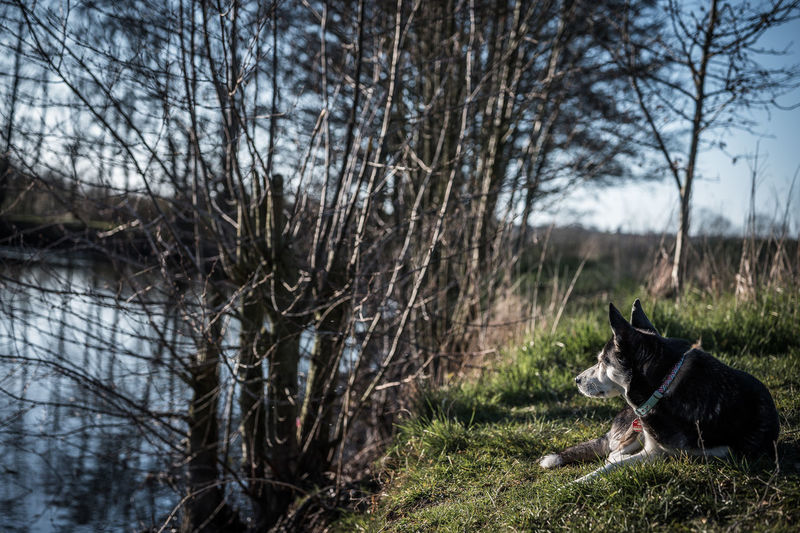 Dog looking at bare trees on field