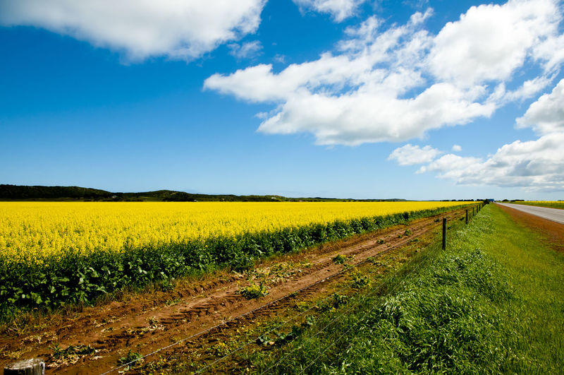 Rapeseed Field in the Mid West Australia Western Australia Agriculture Farm Field Mid West Oilseed Rape Rapeseed Yellow