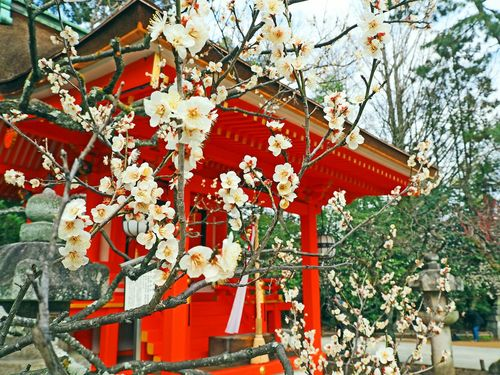 Plumblossom Seasons Love Ume Taking Photos Shrine Happy Peace And Love Eye4photography  EyeEm Gallery White Flower White Color Red Color Lovely