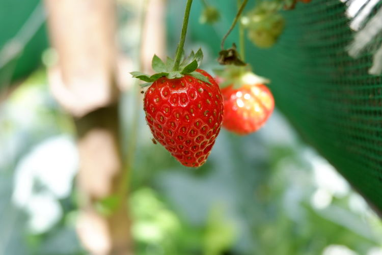 Berries Tree Branch Fruit Red Leaf Hanging Agriculture Close-up Plant Food And Drink Hay Bale Farm Unripe Bale  Ripe Plantation Rice Paddy Crop  Farmland Agricultural Field Juicy Twig Vineyard Plough Oilseed Rape Cultivated Land Cultivated Orchard Combine Harvester Ear Of Wheat
