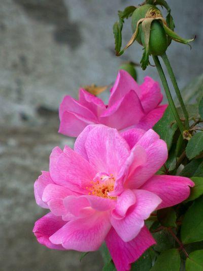 || Nature Theories || Delhi, India. Rose - Flower TheFoneFanatic Macro Close-up Nature PhonePhotography Mobilephotography Nokia808 Bokeh Pollen Multi Colored Delhi
