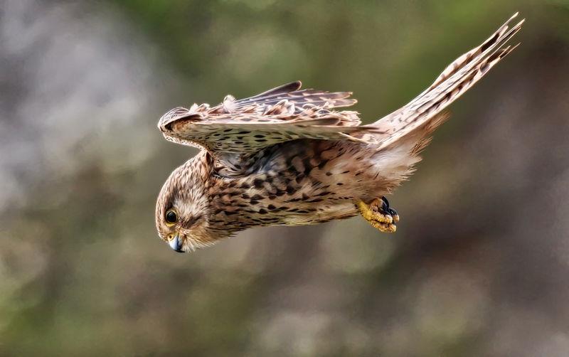 Side view of kestrel bird flying