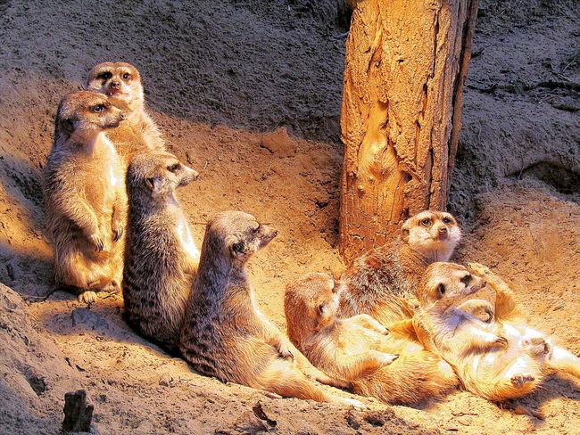 Animal Themes Familienleben Der Erdmännchen Family Life Of The Meerkats Rostock 2017