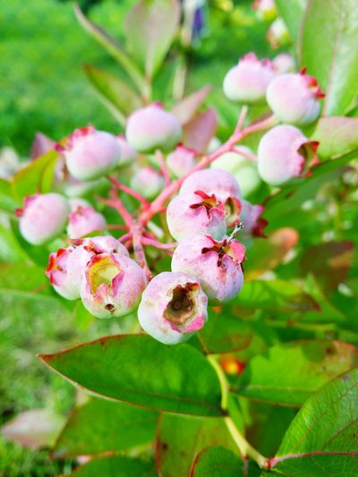 Berries Bush Old Pic  Summertime Summer Holiday Memories
