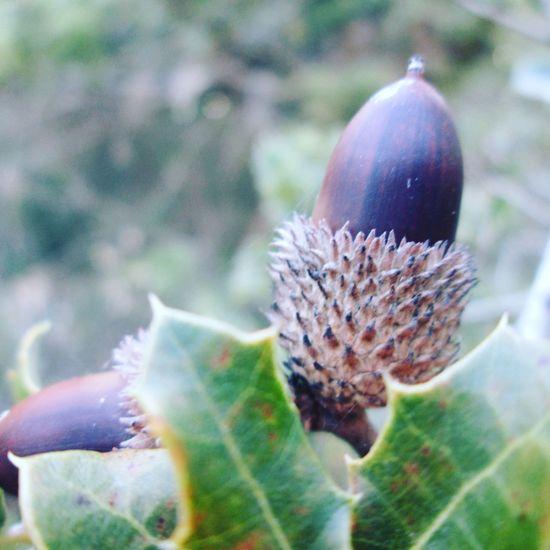 Nut Nuss Palamut Spring acorn Acorn