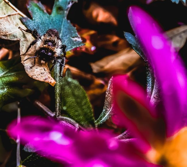 #bee #bumblebee #insects #photography #Nature  #EyeEm EyeEm Selects #nature_collection #EyeEmNaturelover #nature #flower#garden#nature#ecuador#santodomingoecuador#eyeEmfollowers#iphoneonly#nofiltrer#macro_garden#pretty#beautiful#followme#sho #photography #photo #photos #pic #pics #TagsForLikes #picture #pictures #snapshot #art #beautiful #instagood #picoftheday #photooftheday #color #all_shots #exposure #composition #focus #capture #moment #autumn #macro #light #cute Flower Insect Purple Close-up Blooming Pollen In Bloom Flower Head Stamen Single Flower
