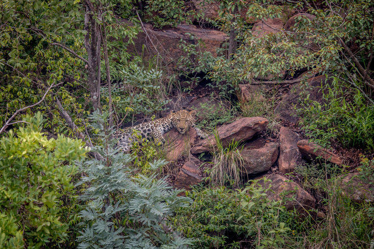 Leopard laying on rocks in the Welgevonden game reserve, South Africa. Animal Themes Animal Animals In The Wild Animal Wildlife Wildlife Wildlife & Nature Wildlife Photography Nature Nature Photography Beauty In Nature Safari Safari Animals Kruger Park Travel Travel Destinations Africa African Safari African Beauty Leopard Big Five Big Cat Panthera Pardus Feline Cat Mammal