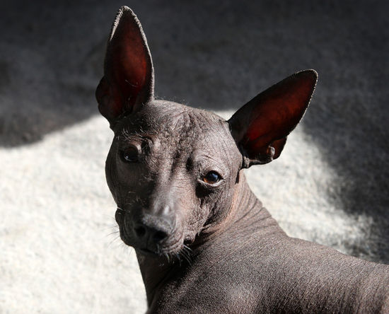 Mexican Hairless Dog Xoloitzcuintli Animal Body Part Animal Eye Canine Close-up Day Dog Domestic Domestic Animals Focus On Foreground Indoors  Looking At Camera Mammal No People One Animal Pets Portrait Small Vertebrate Whisker Xoloitzcuintli