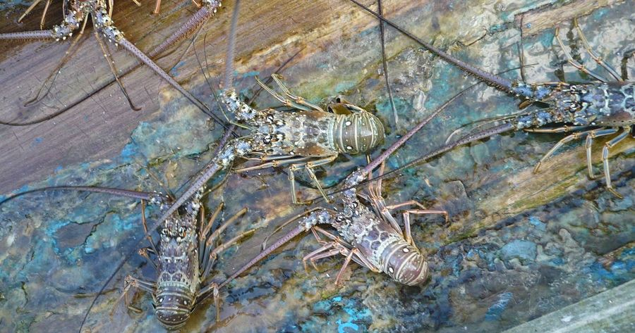 Lobsters Spiny Lobster High Angle View No People One Animal Nature Animal Themes Outdoors Day Close-up boat Jamaica