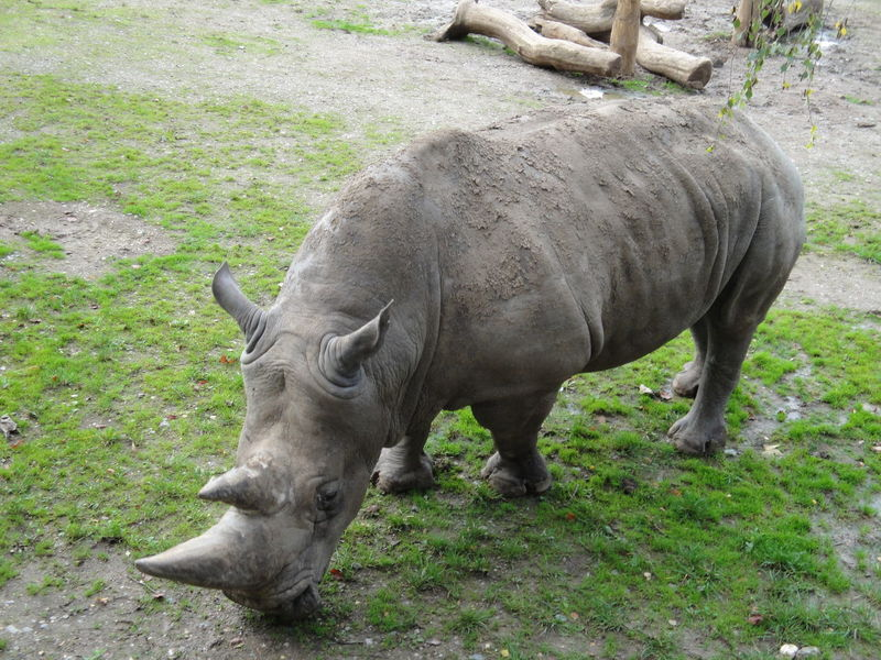 Large Animal Animal Animal Themes Animal Wildlife Animals In The Wild Day Domestic Animals Field Grass Herbivorous Horn Horned Land Livestock Mammal Nature No People One Animal Outdoors Plant Rhino Rhinoceros Standing Vertebrate