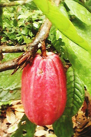 Cacao Cacao Dinero De Los Antepasados Dinero Azteca Moneda Primitiva Chocolate Fruta Chocolatera Colour Your Horizn EyeEmNewHere Press For Progress