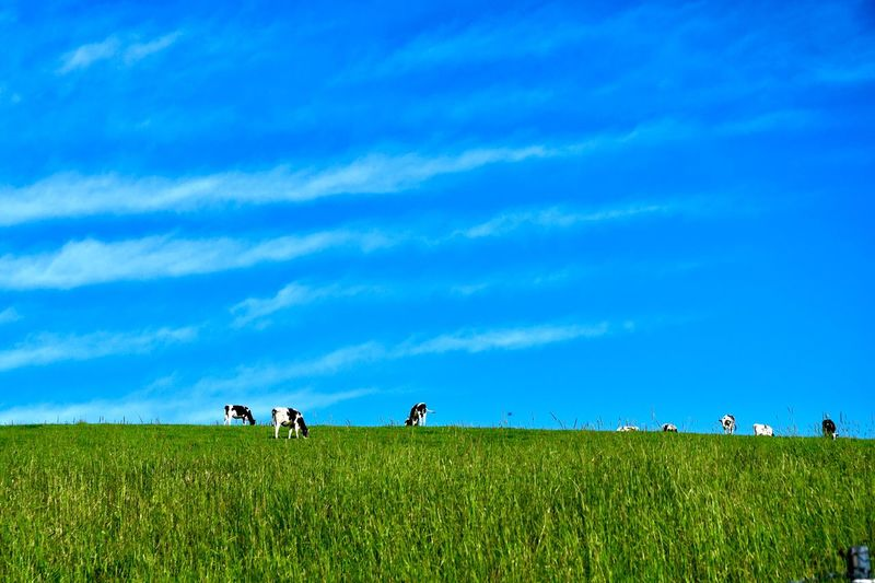 Cows grazing on field against blue sky