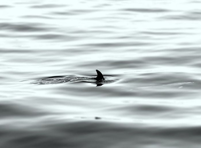 Fish fin on sea water surface