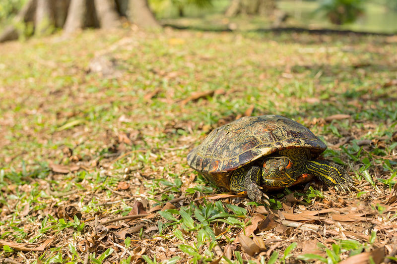 Red eared slider turtle doing a face palm on grassy bank. Face Palm Grass Animal Themes Animal Wildlife Animals In The Wild Close-up Crawling Day Grass Nature No People One Animal Outdoors Red Eared Slider Red Eared Slider Turtle Reptile Tortoise Tortoise Shell