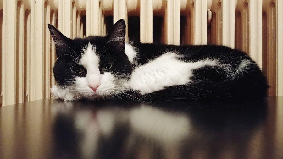 Suki Chat Radiateur Pets Feline Domestic Cat Close-up Cat Radiator Home Sleepy