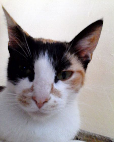 Grumpy Calico Cat Eyeem Market Cute @wolfzuachis Pets Animals Grumpy Face Calico Cat