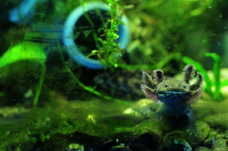 Portrait Photography Andersons Salamander Ambystoma Andersomi Waterworld Hanging Out Underwater Kreatur 50mm Anderson Animal Photography Nature Photography Waterdragon Lake View EyeEm Nature Lover Hanging Out Taking Photos