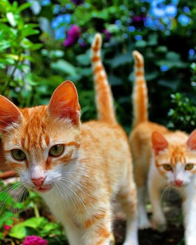 Pets Feline Portrait Looking At Camera Close-up Ginger Cat Kitten Whisker Young Animal Stray Animal