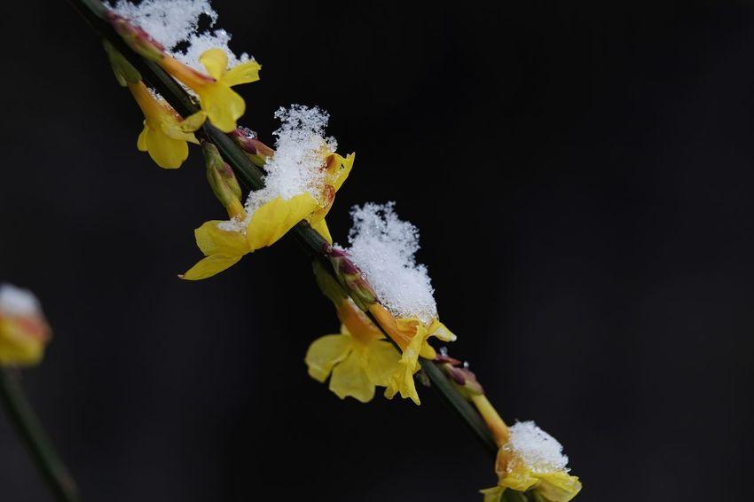 Dunkler Hintergrund Schnee Beauty In Nature Blütenzauber Close-up Day Flower Flower Head Fragility Freshness Jasmine Flower Nature No People Outdoors