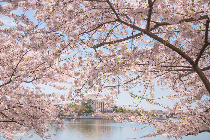 Cherry Blossoms Beautiful Blue Sky Cherry Blossoms Clear Cky Flower Blossom Flowers Growth Jefferson Memorial Pink Soft Grunge Spring Sunny Day Tidal Basin Tidal Basin Cherry Blossoms Washington, D. C.
