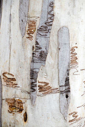 Scribbly Gum Tree Australian Landscape Close-up Day Gum Tree Trunk National Park No People Outdoors Scribbly Gum Moth Textured  Tree Tree Bark Tree Bark Patterns Wood - Material Namadgi Canberra Landscape_Collection Australia Macro_collection EyeEm New Here