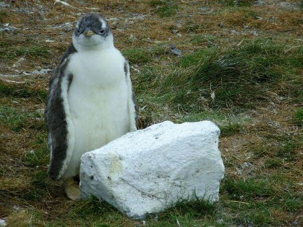 Gentoo Penguin Chick Rock