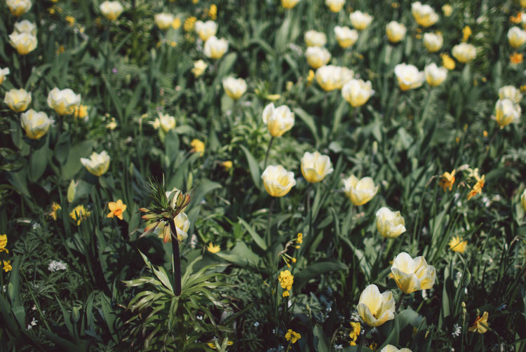 Tulip Tulips Flower Flowering Plant Plant Freshness Fragility Vulnerability  Growth Beauty In Nature Flower Head Petal Close-up Field Nature Land Inflorescence Yellow White Color No People Outdoors Full Frame Flowerbed Spring