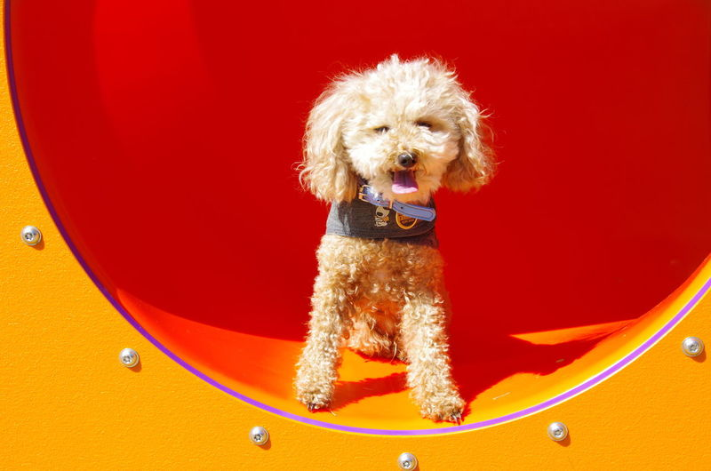 Portrait of poodle standing on jungle gym