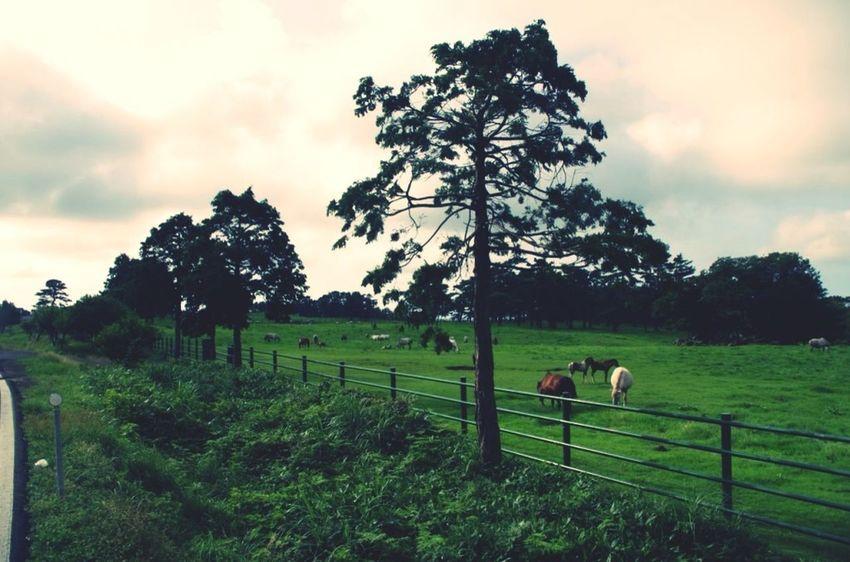 Horse JEJU ISLAND  Jeju Animals