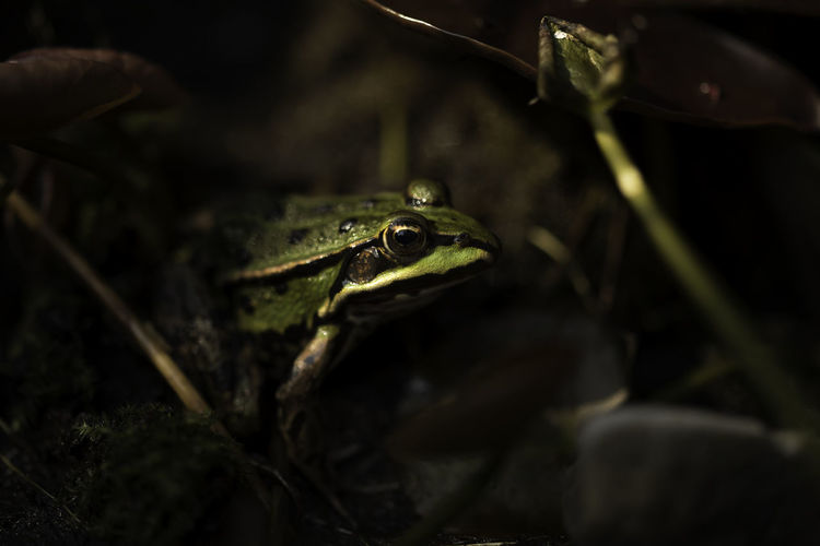 Frog Amphibian Animal Animal Body Part Animal Eye Animal Head  Animal Themes Animal Wildlife Animals In The Wild Close-up Day Frog Green Color Land Nature No People One Animal Outdoors Plant Reptile Selective Focus Spring