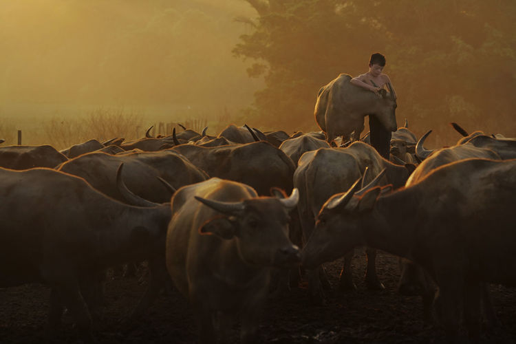 Teenage boy standing amidst buffalo in farm at sunset