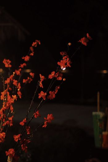 Plant Flower Flowering Plant Growth Fragility Vulnerability  Beauty In Nature Outdoors Tree Petal Nature Focus On Foreground Night No People Freshness Close-up Red Sky Flower Head Branch