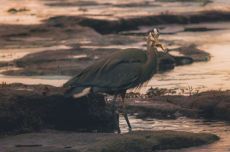 Gray heron on shore