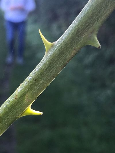 Thorns Close-up Focus On Foreground Growth Stem Yellow Plant Nature Man In Background Countryside Green Color Fragility Outdoors Day Thorn Growing Leaves Botany Green Spiked Freshness Tranquility Bramble Stem Spiky Plant Thorny Relationship Bramble